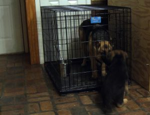 Mom is crated while a puppy prepares to go to its new home