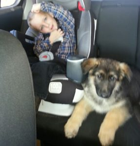 a Heidelberg German Shepherd Dog Puppy Traveling