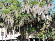 Spanish Moss draped Oaks