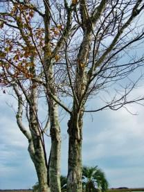 """Tall Birch, Blue Sky"""