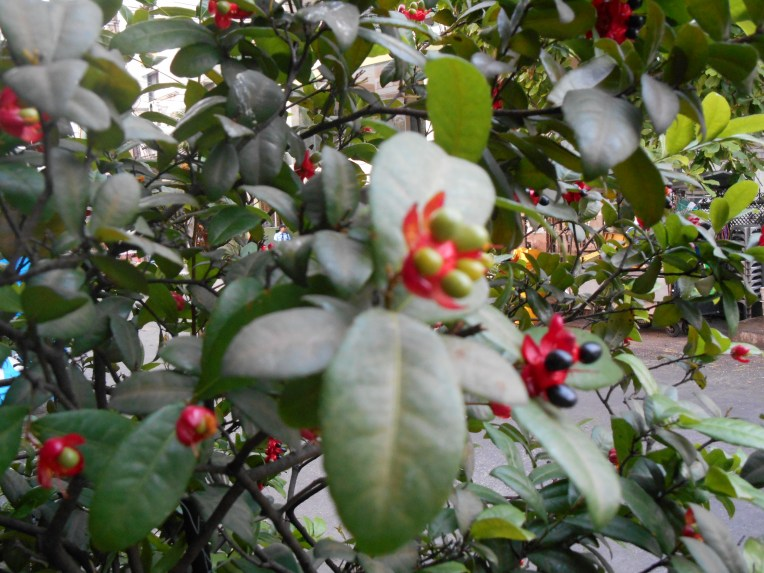 Mickey mouse bush/ ミッキーマウスの木