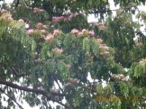 モンキーポッド葉を閉じた木