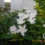 サンユウカ 花の様子