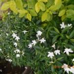 サンユウカ 植え込みの花