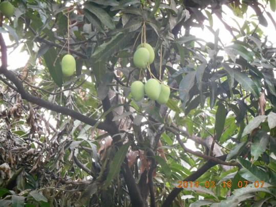 マンゴー 果実の群生