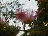 モンキーポッド花の接写