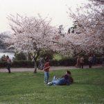 ローマの桜 ソメイヨシノ