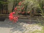 Firecracker Plant/ ハナチョウジ