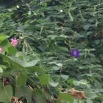 花と蔓と実 バタフライピー