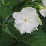 Arabian jasmine/ マツリカ