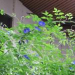 Butterfly pea/ チョウマメ バタフライピー