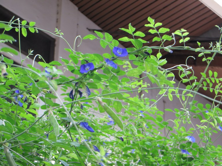 Butterfly pea/ チョウマメ
