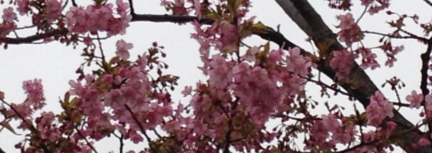 カワヅサクラ 花の姿