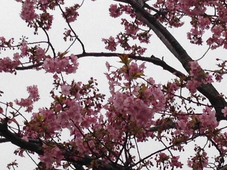 河津桜/ Cherry, Kawadu Var.