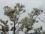 White magnolia/ ハクモクレン