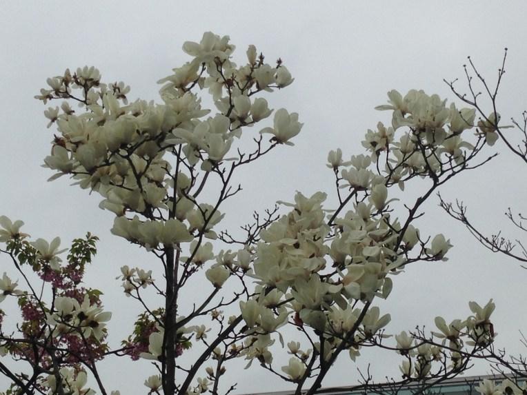 ハクモクレン/ white magnolia