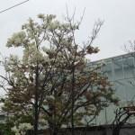 ハクモクレン 花のついた木全景