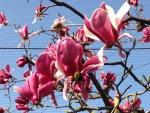 Magnolia/ モクレン