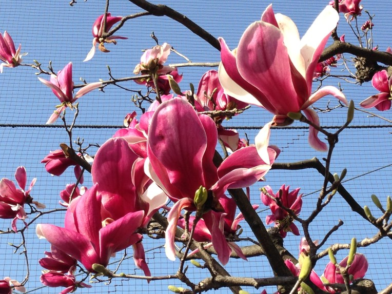 モクレン Magnolia