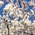 イトウサクラ 満開の花