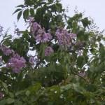 オオバナサルスベリ 綺麗な紫の花