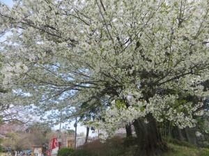散り始めの桜の木