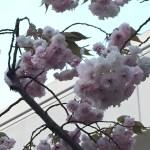 イチヨウ(ヤエザクラ) 少し色の薄い花