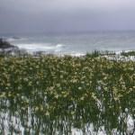 冬の越前海岸のニホンスイセン