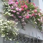 色とりどりの花 ブーゲンビリア