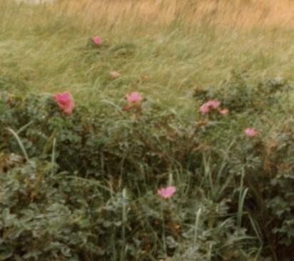 ハマナス 野付の群生