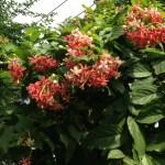 シクンシ 花の姿
