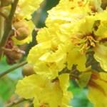 Yellow flamboyant/コウエンボク 花のアップ