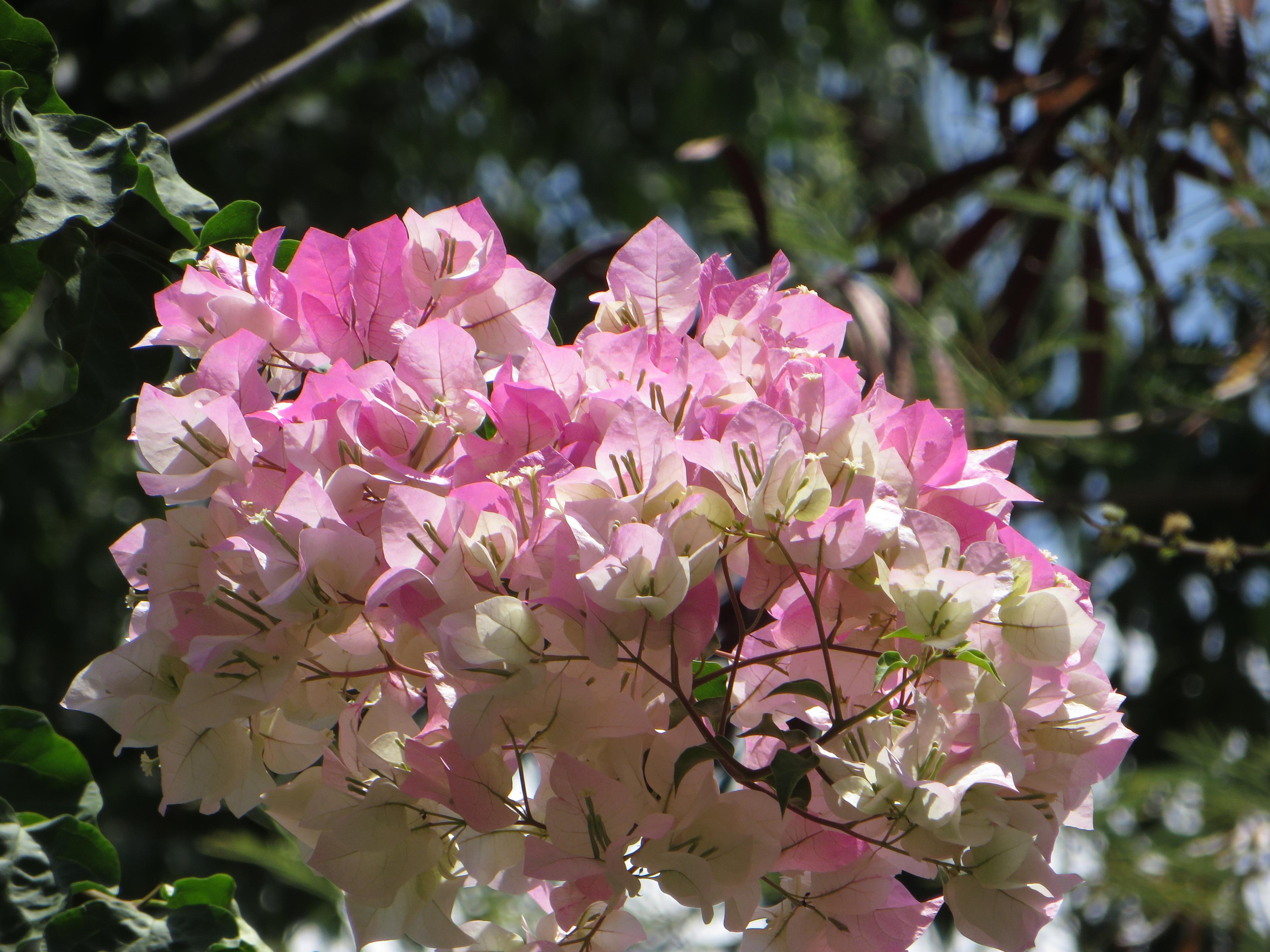薄ピンクのきれいな花 ブーゲンビリア