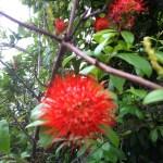 サンタンカ? 赤色系の花