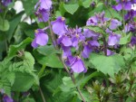 Violet orychophragmus/ オオアラセイトウ