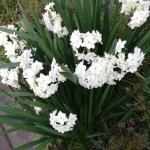 Bunch-flowered Narcissus/ フサザキスイセン ペーパーホワイト系