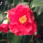 ツバキ 花のアップ