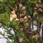 ボケ 薄ピンクの花