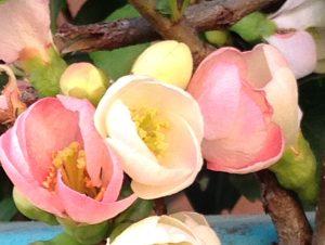 ボケ/ flowering quince