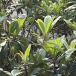 ビワの幼果と若葉