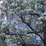 ハナミズキ 白花全景