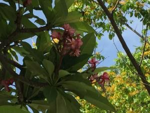 プルメリア 赤色系の花