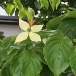 ヤマボウシ 薄緑の花