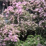 家を覆い尽くす花 ブーゲンビリア