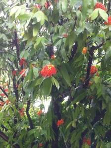 ムユウジュ 花の咲いている姿
