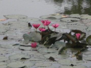 ハス アンコールワットの前池