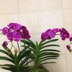 コチョウラン 紫花の姿花の姿