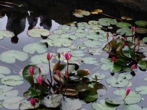 スリランカのハス/ Lotus