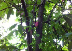 cacao tree/カカオ