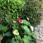 アンスリウムの鉢植え